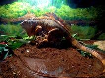 großer schöner farbiger Leguan der Eidechse, der im Terrarium sitzt Lizenzfreies Stockfoto