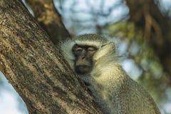 Großer schläfriger vervet Affe in einem Baum Lizenzfreies Stockfoto