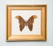 großer Schmetterling in einem Holzrahmen stockbilder