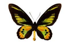 Großer Schmetterling mit grün-schwarzen Flügeln, mit Adern, Nahaufnahme, lokalisiert auf Weiß Lizenzfreie Stockfotografie