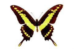 Großer Schmetterling mit grün-schwarzen Flügeln, mit Adern, Nahaufnahme, lokalisiert auf Weiß Lizenzfreies Stockfoto