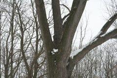 Großer Schnee bedeckte Baum Stockfotos