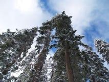 Großer Schnee deckte Douglas-Tannenbäume ab Lizenzfreie Stockfotos