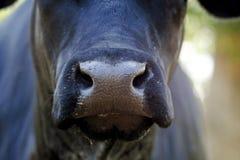 Großer schwarzer Angus-Kuhnasenabschluß oben stockfotografie