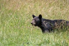 Großer schwarzer Bär Stockfotos