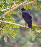 Großer schwarzer Falke Lizenzfreies Stockbild