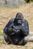 Großer schwarzer haariger männlicher Gorillaaffe sitzen auf Gras und essen Lebensmittel wi Stockbild