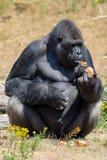 Großer schwarzer haariger männlicher Gorillaaffe sitzen auf Gras und essen Lebensmittel wi Lizenzfreie Stockfotos