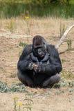 Großer schwarzer haariger männlicher Gorillaaffe sitzen auf Gras und essen Lebensmittel wi Lizenzfreies Stockfoto