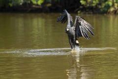 Großer schwarzer Hawk Fishing im Fluss Stockfotografie