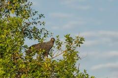 Großer schwarzer Hawk Perched auf Baum im Sonnenlicht Stockbild