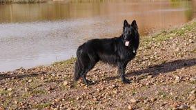 Großer schwarzer Hund, der auf der Bank von einem See in England steht Stockfoto