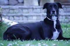 Großer schwarzer Hund, der sich hinlegt Lizenzfreie Stockfotos