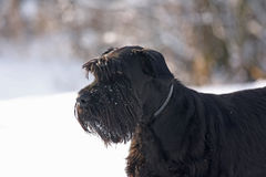 Großer schwarzer Schnauzer-Hund Lizenzfreies Stockfoto
