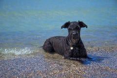Großer schwarzer Schnauzer-Hund im Meer Lizenzfreie Stockfotos