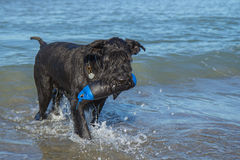 Großer schwarzer Schnauzer-Hund im Meer mit einem Spielzeug Stockfotografie