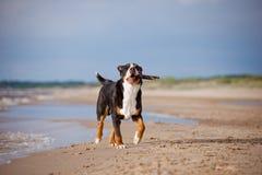 Großer Schweizer Gebirgshund, der auf dem Strand läuft Stockbild