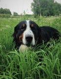 Großer Schweizer Schäfer, der auf einen Rasen in einem grünen hohen Gras geht Lizenzfreies Stockfoto