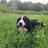 Großer Schweizer Schäfer, der auf einen Rasen in einem grünen hohen Gras geht Lizenzfreie Stockfotos