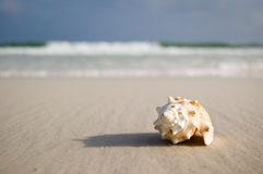 Großer Seashell auf dem Ufer nahe bewegt wellenartig Stockbilder