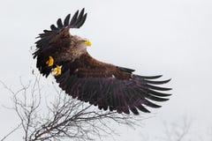 Großer Seeadler, der über die Bäume in den Bergen fliegt Stockbilder