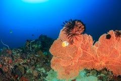 Großer Seefächer auf einem Korallenriff Stockfotografie