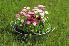 Großer silberner Eimer voll der Blume des Gänseblümchenrosa-, Roten und weißengänseblümchens Stockbilder