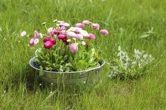 Großer silberner Eimer voll der Blume des Gänseblümchenrosa-, Roten und weißengänseblümchens Stockbild