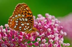 Großer Spangled Fritillary-Schmetterling, der auf rosa Milkweed einzieht Lizenzfreie Stockbilder