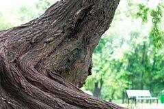 Großer Stamm des Baums im Park Lizenzfreie Stockfotografie