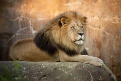 Großer starker Lion Rests On Tall Boulder bei Sonnenuntergang Lizenzfreie Stockfotos