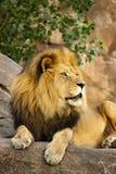 Großer starker Lion Rests On Tall Boulder bei Sonnenuntergang Lizenzfreies Stockfoto