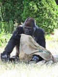 Großer starker schwarzer Affe-Affe Gorilla Playing mit Tasche Stockbilder