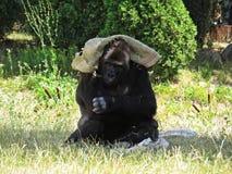 Großer starker schwarzer Affe-Affe Gorilla Protecting und Bedeckung mit Tasche von Sun Stockbilder