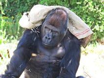 Großer starker schwarzer Affe-Affe Gorilla Protecting und Bedeckung mit Tasche von Sun Lizenzfreies Stockfoto