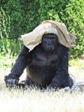 Großer starker schwarzer Affe-Affe Gorilla Protecting und Bedeckung mit Tasche von Sun Stockfotografie