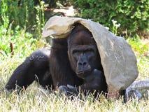 Großer starker schwarzer Affe-Affe Gorilla Protecting und Bedeckung mit Tasche von Sun Lizenzfreie Stockfotos