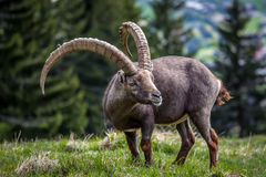 Großer Steinbock der Alpen Stockfotografie
