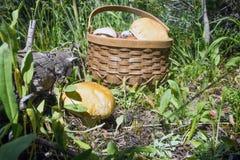 Großer Steinpilz (Boletus essbar) und ein Korb mit Pilzen in den FO Stockfotos