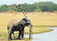Großer Stier-Elefant, der ein Getränk von einer Lagune nimmt, während ein afrikanischer Fischadler int er Baum Süd-luangwa Nation Stockbild