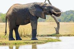 Großer Stier-Elefant, der an einer Lagune mit Stamm trinkt, kräuselte sich in Mund, Süd-luangwa, Sambia, südlicher Afrika Lizenzfreies Stockfoto