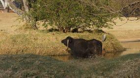 Großer Stier im Wasser Stockbild