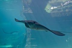 Großer StingRay im Aquarium lizenzfreie stockfotos