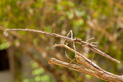 Großer Stock-Insekt in Sansibar stockfotografie