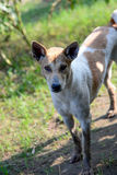 Großer Streuhund im Herbstwald, Landhund stockbilder