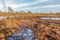 Großer Sumpf Kemeri mit Herbst färbte Flora des Wintertorfmoors, Lettland, Nordeuropa stockbild