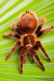 Großer Tarantula auf Blatt stockfotografie