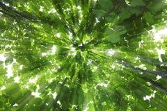 Großer Teakholzbaum mit Sonnenlicht Stockbilder