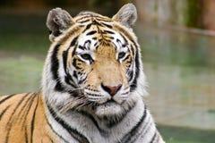 Großer Tiger auf einem unscharfen Hintergrund Stockbilder