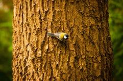 Großer Tit auf einem Zweig Stockfotografie